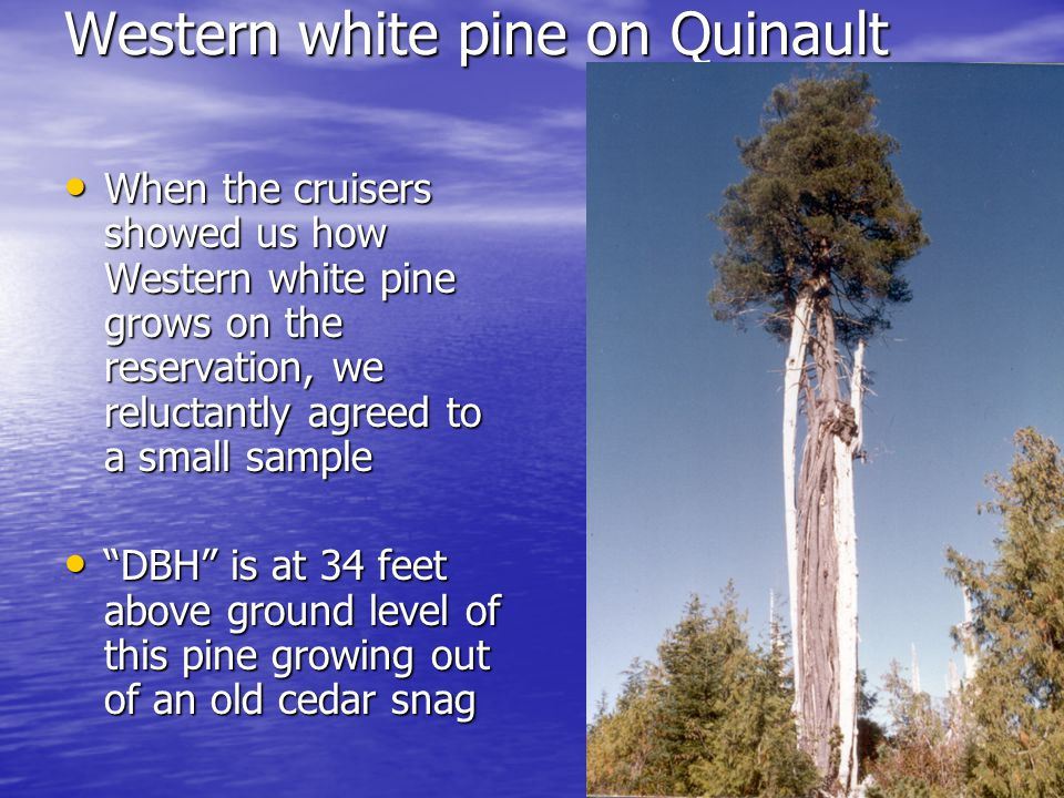 Western white pine on Quinault When the cruisers showed us how Western white pine grows on the reservation, we reluctantly agreed to a small sample When the cruisers showed us how Western white pine grows on the reservation, we reluctantly agreed to a small sample DBH is at 34 feet above ground level of this pine growing out of an old cedar snag DBH is at 34 feet above ground level of this pine growing out of an old cedar snag
