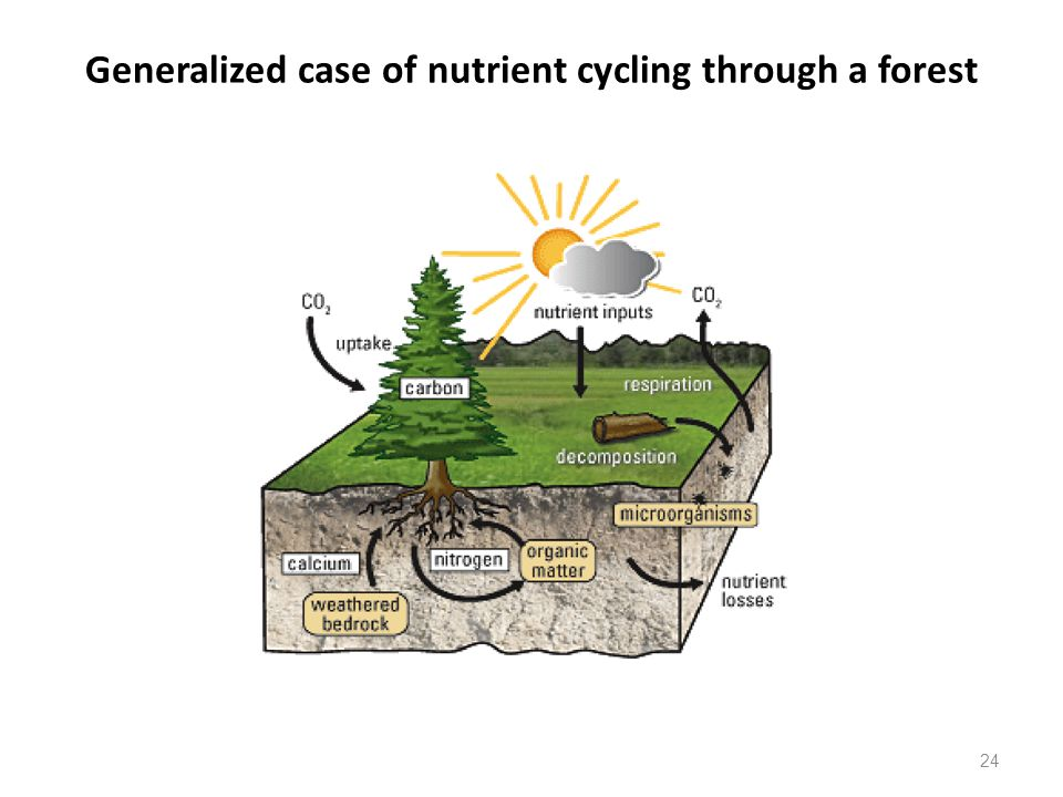 24 Generalized case of nutrient cycling through a forest