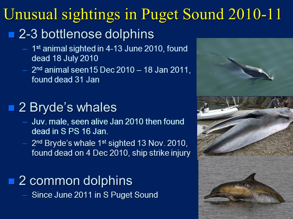 Unusual sightings in Puget Sound 2010-11 n 2-3 bottlenose dolphins – –1 st animal sighted in 4-13 June 2010, found dead 18 July 2010 – –2 nd animal seen15 Dec 2010 – 18 Jan 2011, found dead 31 Jan n 2 Bryde's whales – –Juv.