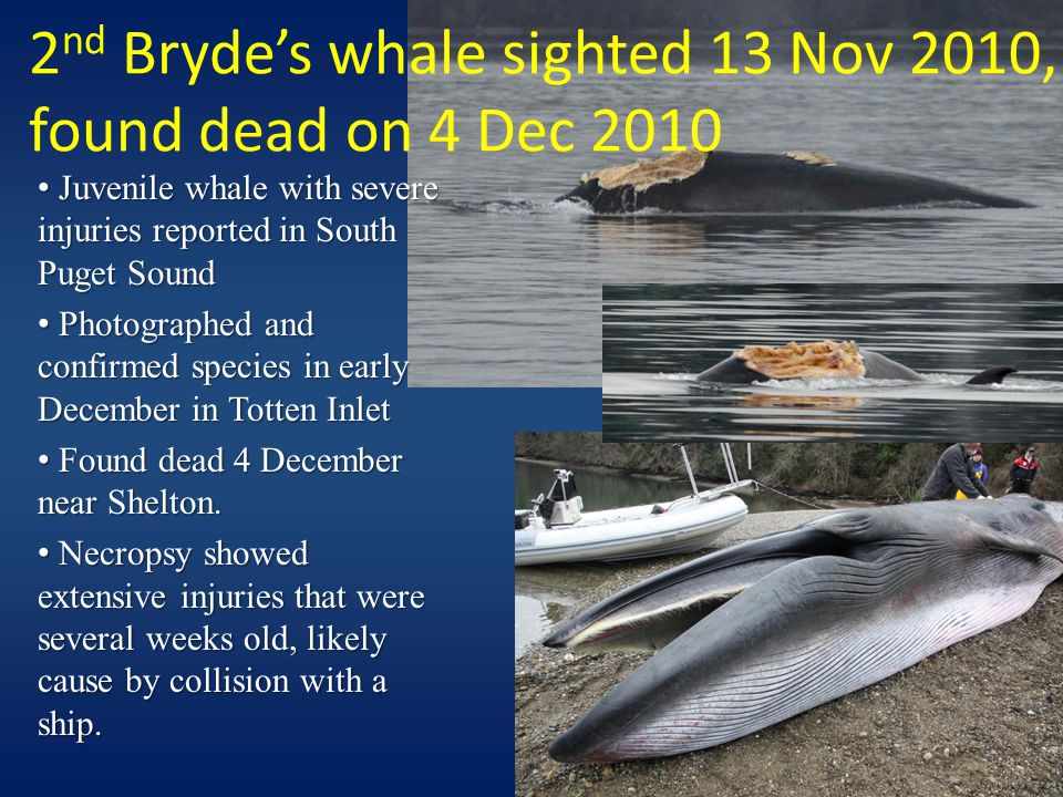 2 nd Bryde's whale sighted 13 Nov 2010, found dead on 4 Dec 2010 Juvenile whale with severe injuries reported in South Puget Sound Juvenile whale with severe injuries reported in South Puget Sound Photographed and confirmed species in early December in Totten Inlet Photographed and confirmed species in early December in Totten Inlet Found dead 4 December near Shelton.