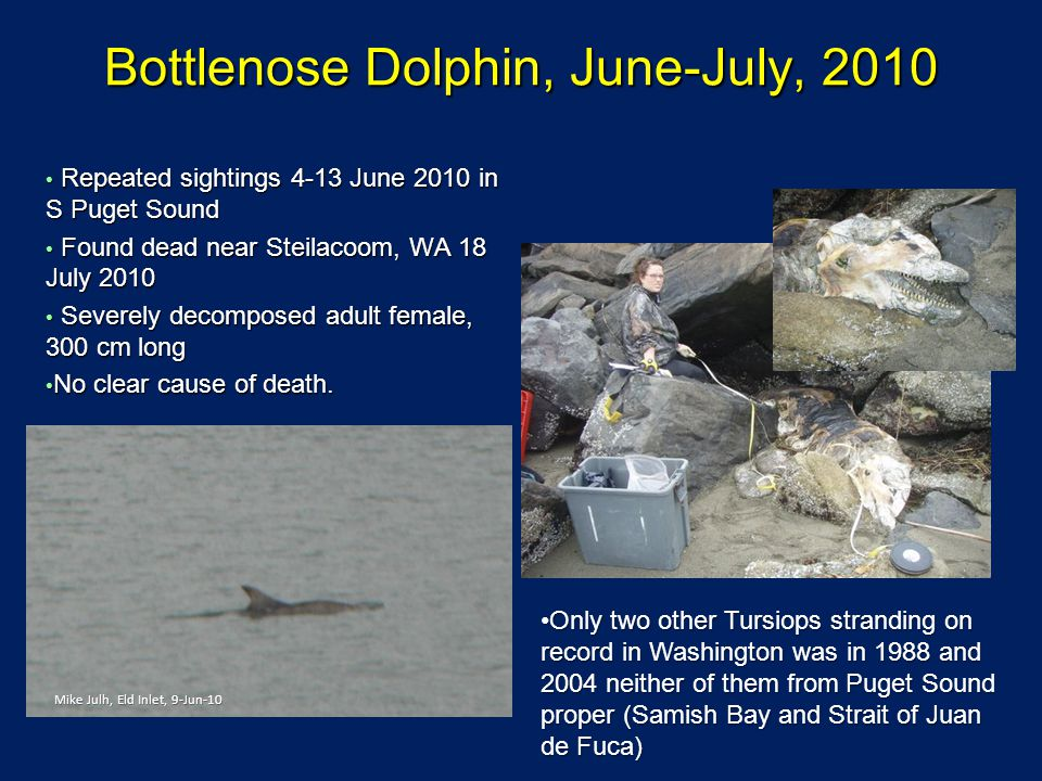Bottlenose Dolphin, June-July, 2010 Repeated sightings 4-13 June 2010 in S Puget Sound Repeated sightings 4-13 June 2010 in S Puget Sound Found dead near Steilacoom, WA 18 July 2010 Found dead near Steilacoom, WA 18 July 2010 Severely decomposed adult female, 300 cm long Severely decomposed adult female, 300 cm long No clear cause of death.