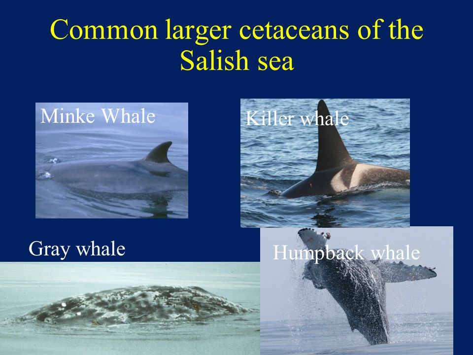 Common larger cetaceans of the Salish sea Minke Whale Killer whale Gray whale Humpback whale