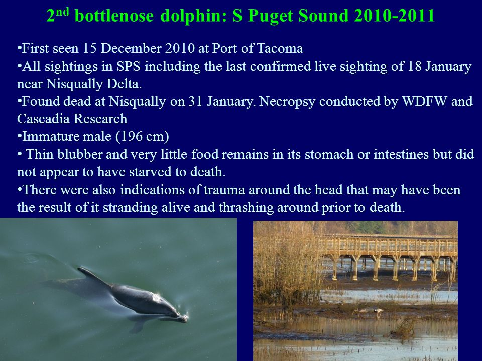 2 nd bottlenose dolphin: S Puget Sound 2010-2011 First seen 15 December 2010 at Port of Tacoma All sightings in SPS including the last confirmed live sighting of 18 January near Nisqually Delta.