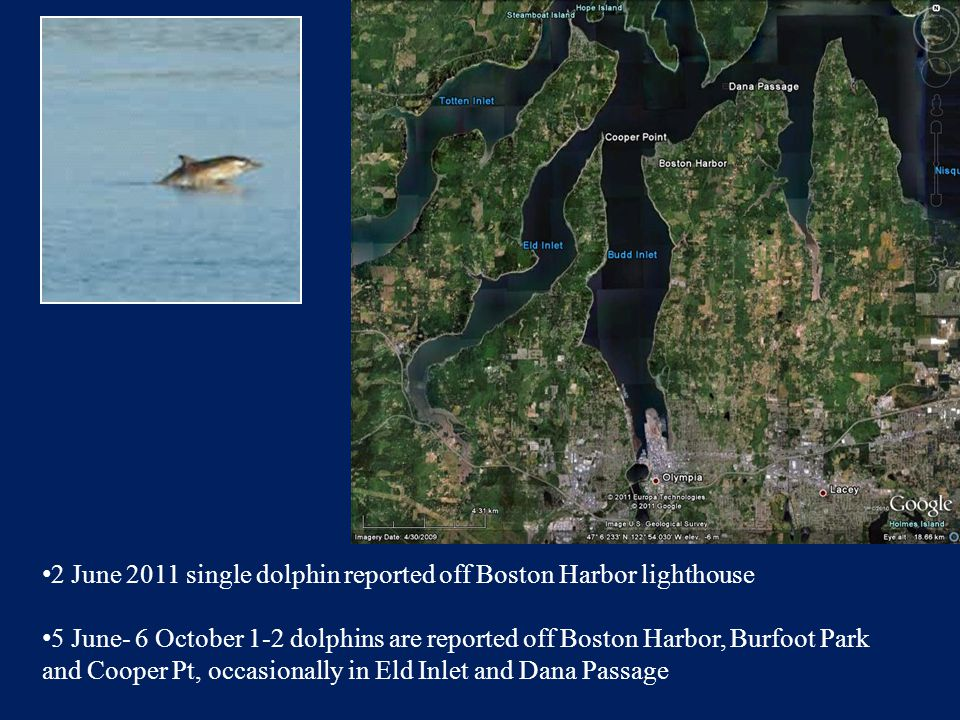 2 June 2011 single dolphin reported off Boston Harbor lighthouse 5 June- 6 October 1-2 dolphins are reported off Boston Harbor, Burfoot Park and Cooper Pt, occasionally in Eld Inlet and Dana Passage
