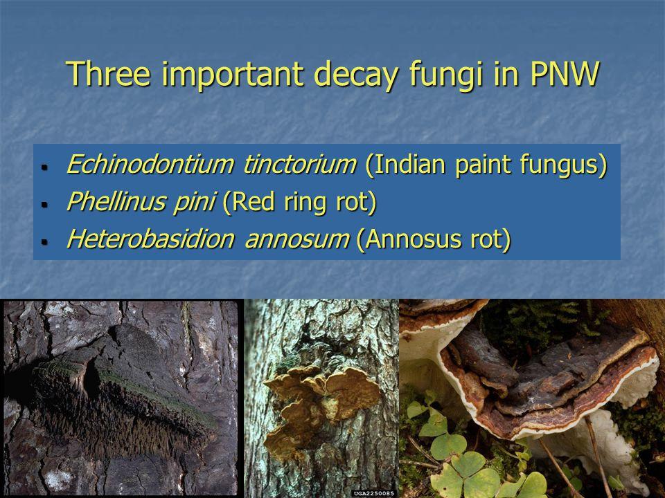 Three important decay fungi in PNW  Echinodontium tinctorium (Indian paint fungus)  Phellinus pini (Red ring rot)  Heterobasidion annosum (Annosus rot)
