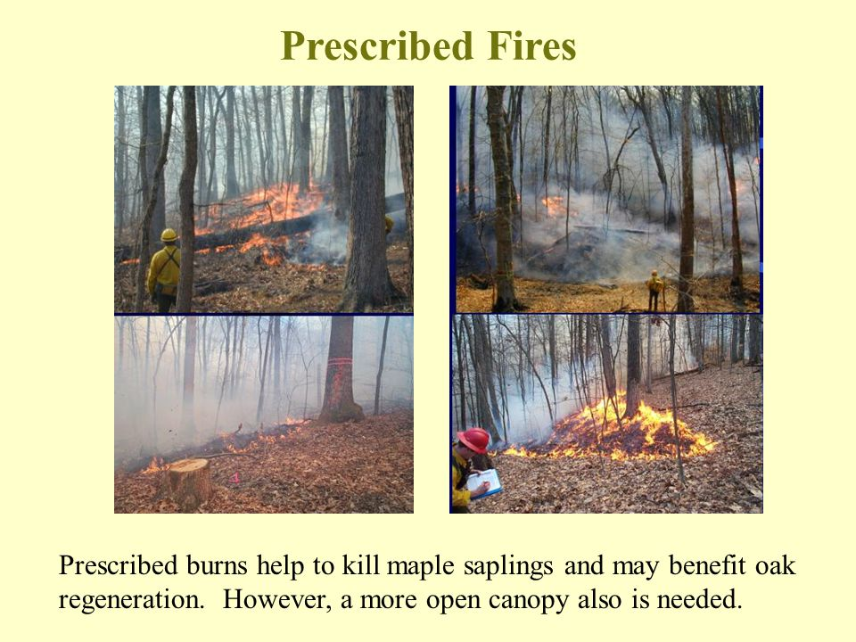 Prescribed burns help to kill maple saplings and may benefit oak regeneration. However, a more open canopy also is needed. Prescribed Fires