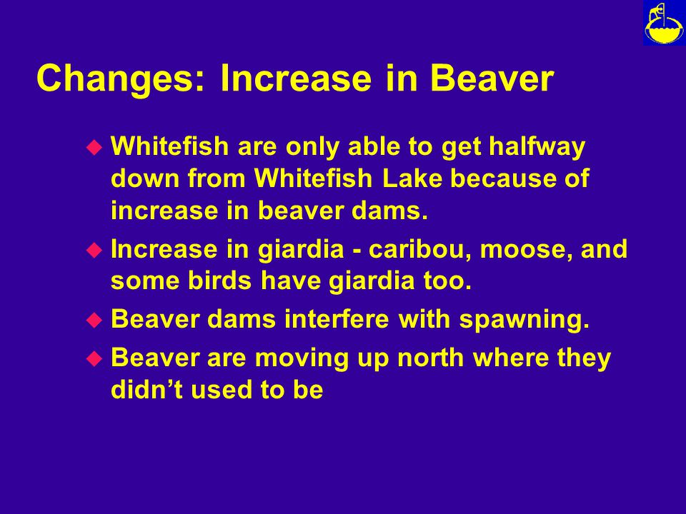 Changes: Increase in Beaver u Whitefish are only able to get halfway down from Whitefish Lake because of increase in beaver dams.