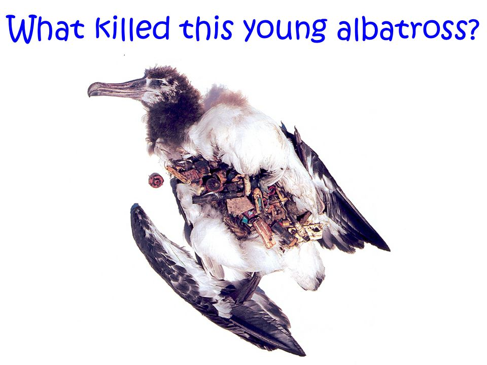 What killed this young albatross?