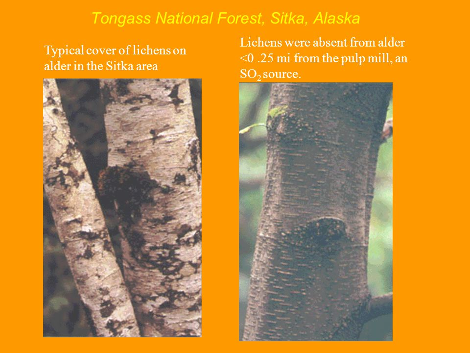 Tongass National Forest, Sitka, Alaska Lichens were absent from alder <0.25 mi from the pulp mill, an SO 2 source.