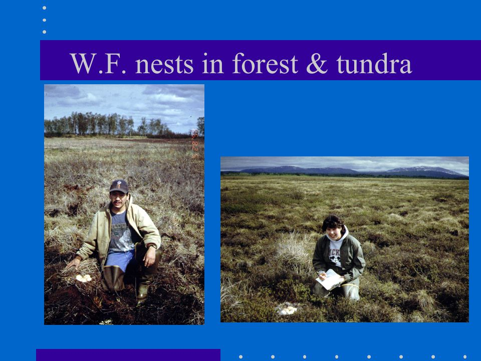 W.F. nests in forest & tundra