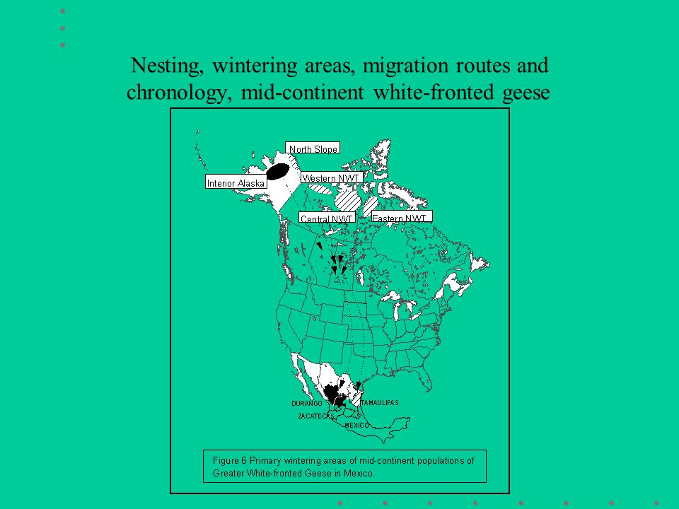 Nesting, wintering areas, migration routes and chronology, mid-continent white-fronted geese areas migration routes, and wintering areas