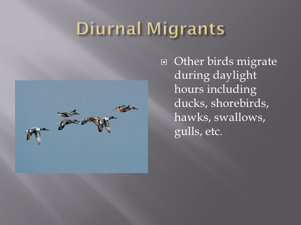  Other birds migrate during daylight hours including ducks, shorebirds, hawks, swallows, gulls, etc.