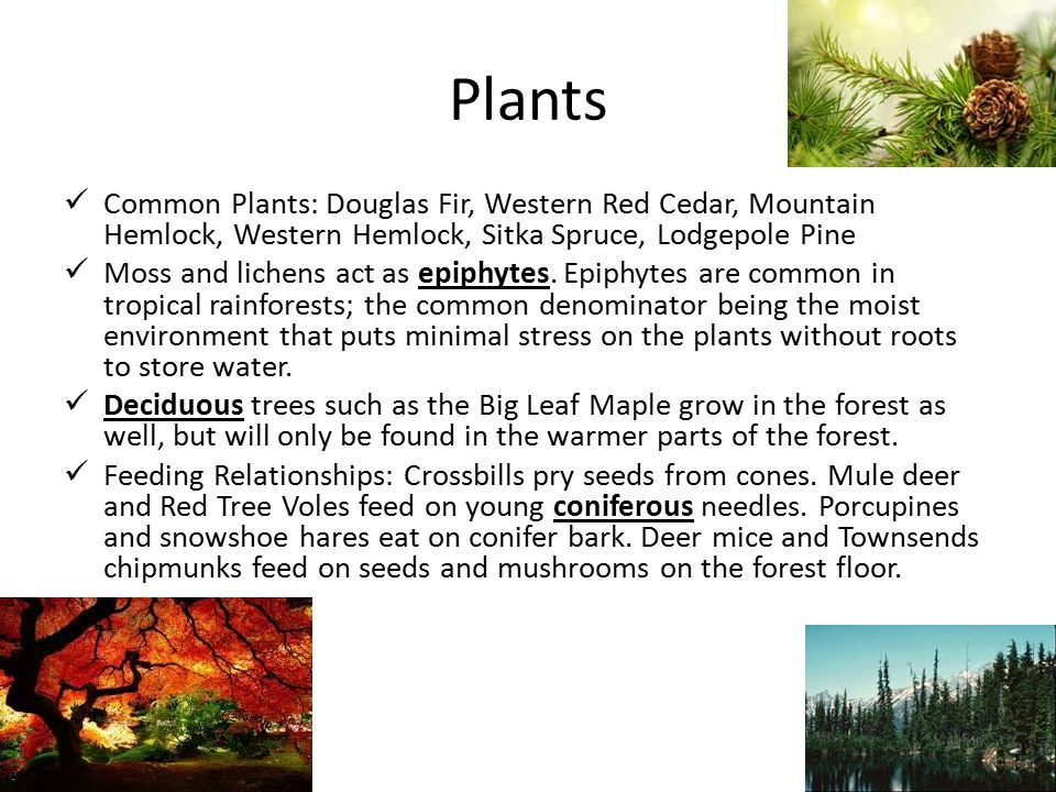 Plants Common Plants: Douglas Fir, Western Red Cedar, Mountain Hemlock, Western Hemlock, Sitka Spruce, Lodgepole Pine Moss and lichens act as epiphytes.