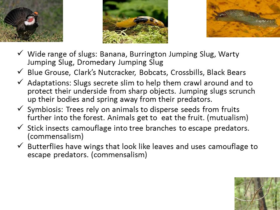 Animals Wide range of slugs: Banana, Burrington Jumping Slug, Warty Jumping Slug, Dromedary Jumping Slug Blue Grouse, Clark's Nutcracker, Bobcats, Crossbills, Black Bears Adaptations: Slugs secrete slim to help them crawl around and to protect their underside from sharp objects.