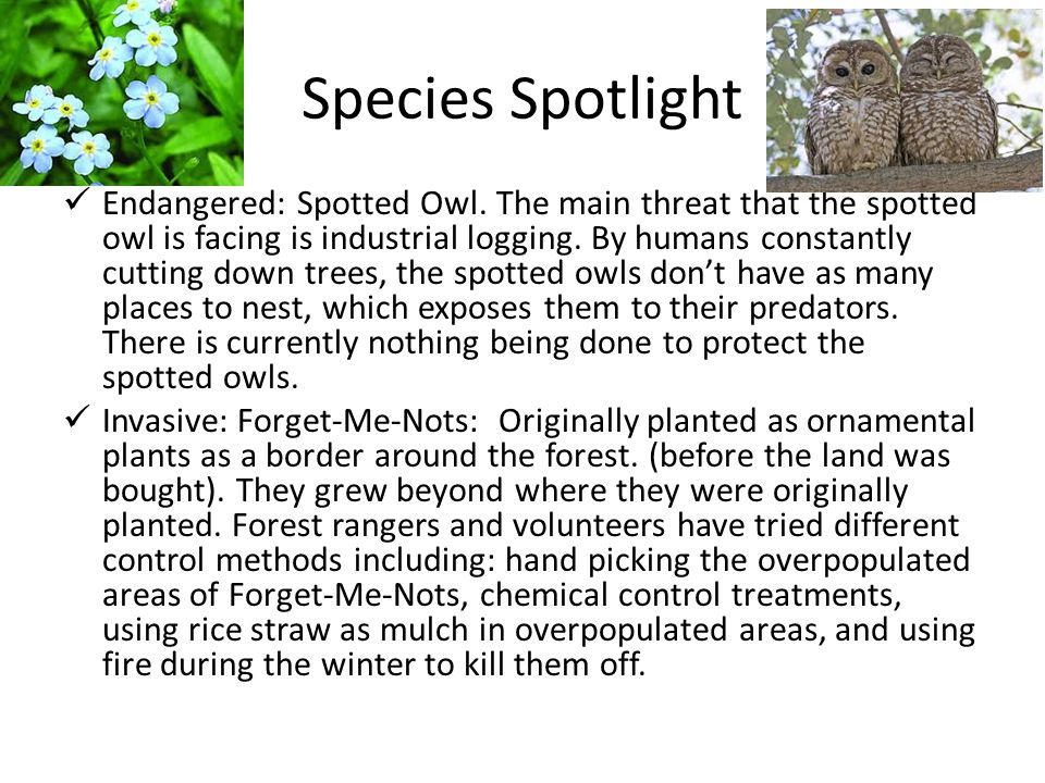 Species Spotlight Endangered: Spotted Owl.