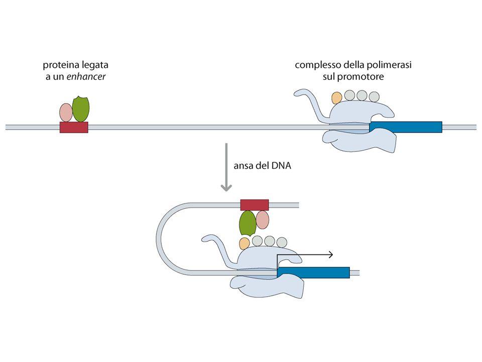 Figure 10.9b Genomes 3 (© Garland Science 2007)