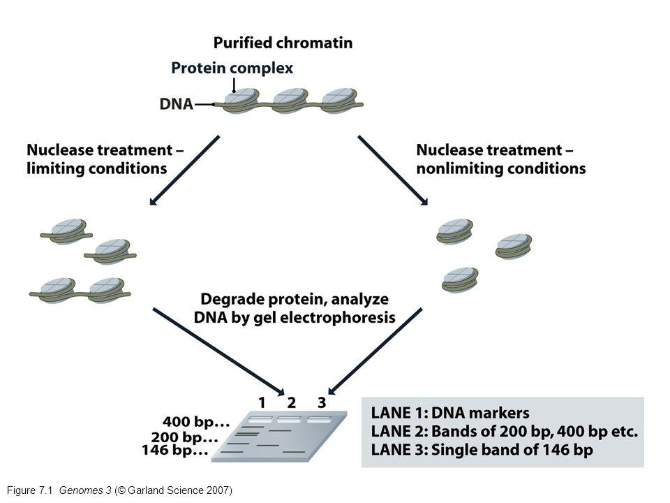 Figure 10.10 Genomes 3 (© Garland Science 2007)