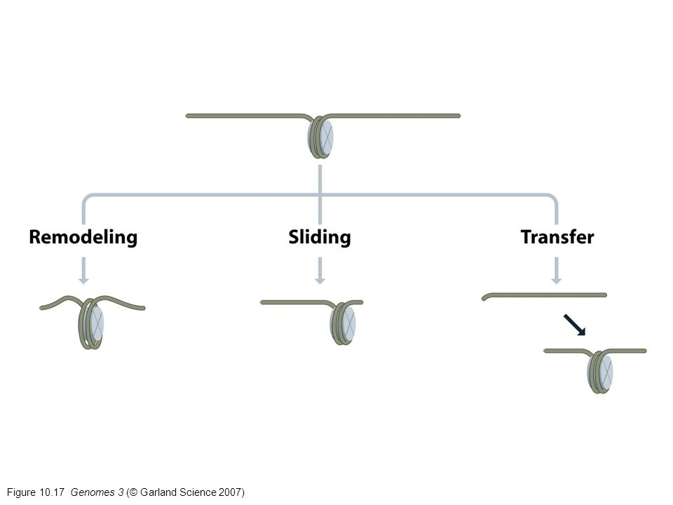 Figure 10.17 Genomes 3 (© Garland Science 2007)