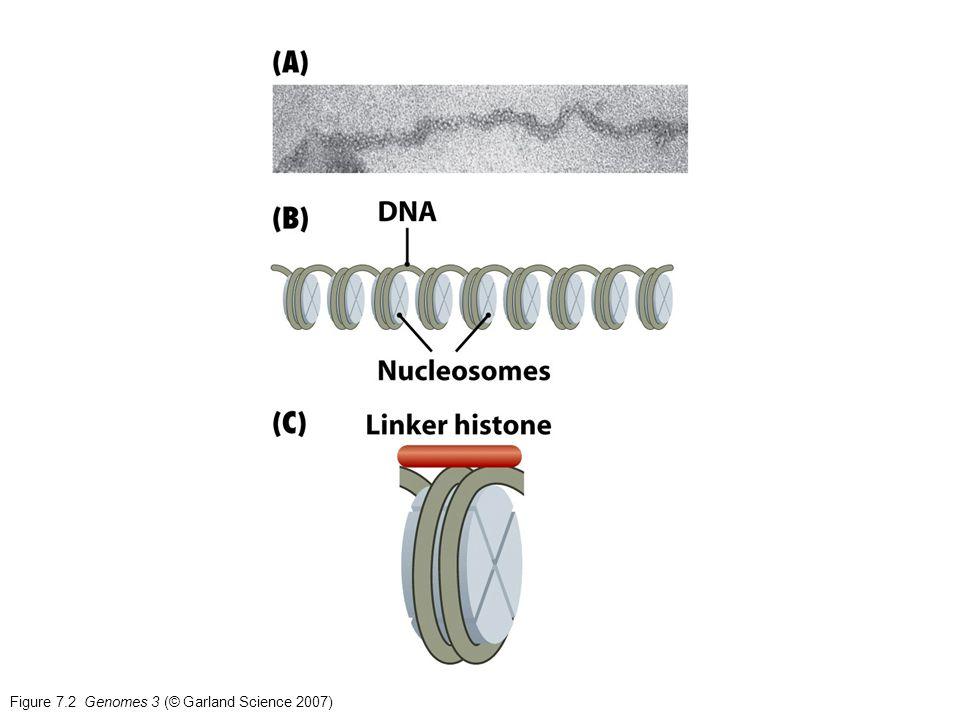 Figure 7.2 Genomes 3 (© Garland Science 2007)