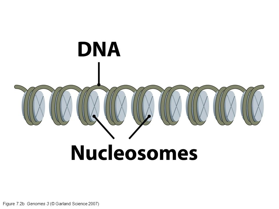 Figure 10.13 Genomes 3 (© Garland Science 2007)