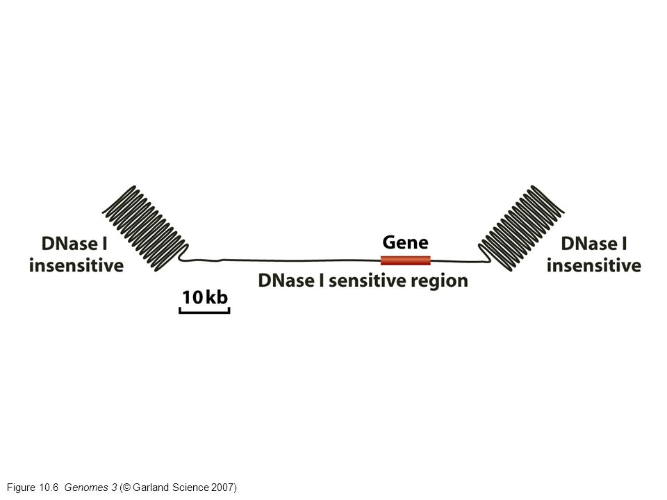 Figure 10.6 Genomes 3 (© Garland Science 2007)