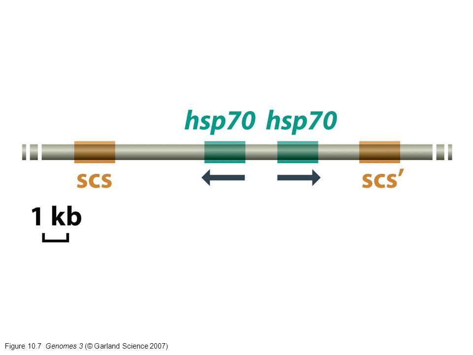 Figure 10.8a Genomes 3 (© Garland Science 2007)