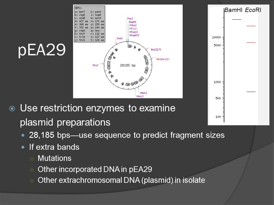 pEA29  Use restriction enzymes to examine plasmid preparations 28,185 bps—use sequence to predict fragment sizes If extra bands ○ Mutations ○ Other incorporated DNA in pEA29 ○ Other extrachromosomal DNA (plasmid) in isolate BamHIEcoRI
