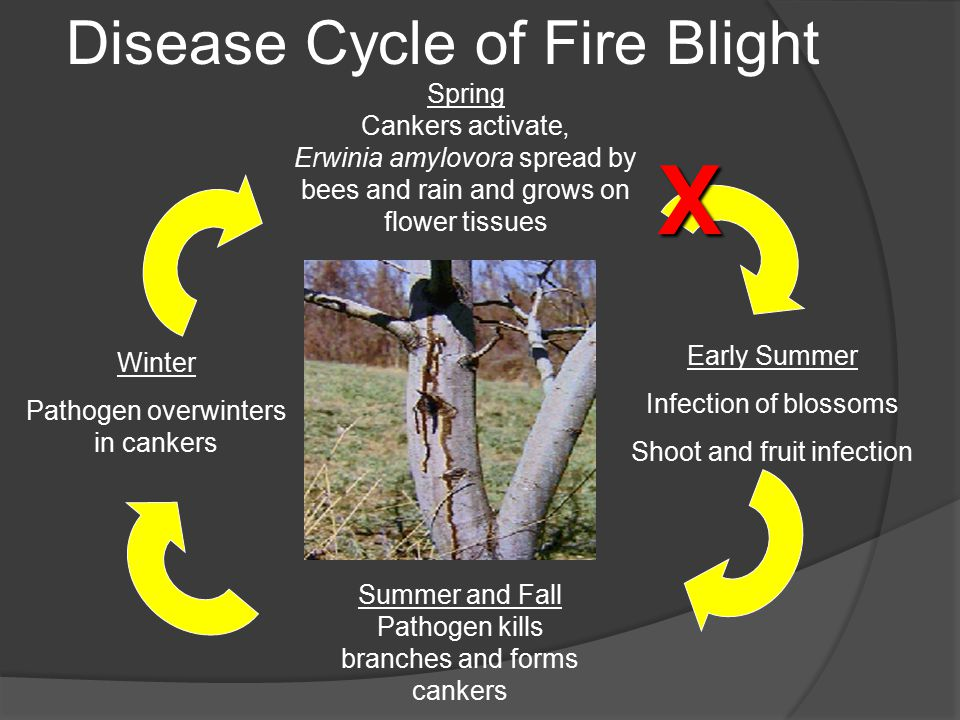 Spring Cankers activate, Erwinia amylovora spread by bees and rain and grows on flower tissues Early Summer Infection of blossoms Shoot and fruit infection Summer and Fall Pathogen kills branches and forms cankers Winter Pathogen overwinters in cankers Disease Cycle of Fire BlightX