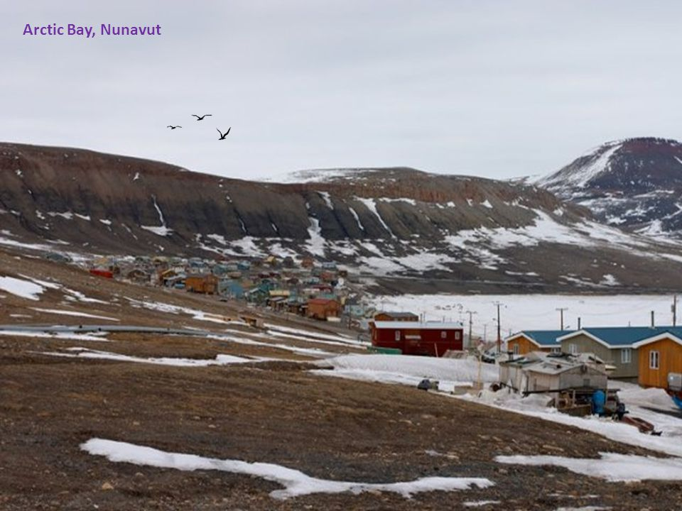 Beluga whales are in abundance in Nunavut