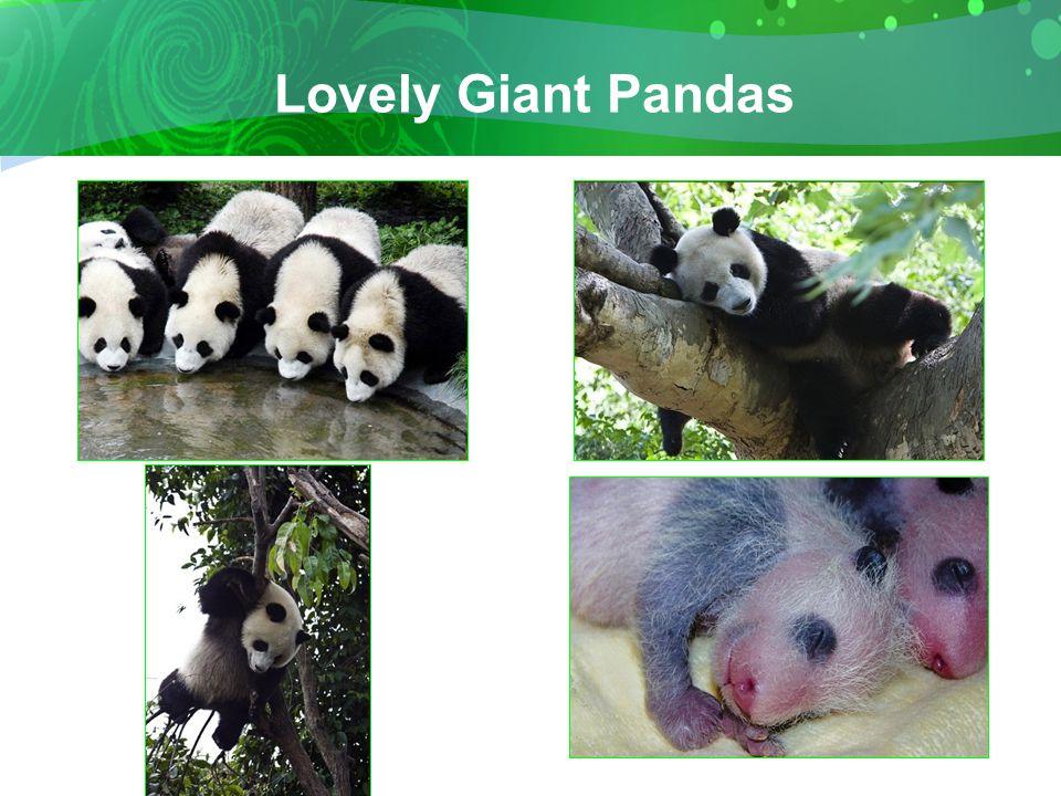 Lovely Giant Pandas