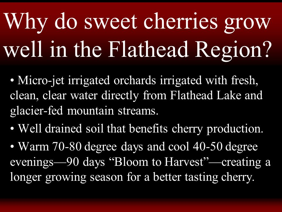 Why do sweet cherries grow well in the Flathead Region.