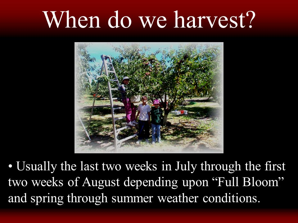 """When do we harvest? Usually the last two weeks in July through the first two weeks of August depending upon """"Full Bloom"""" and spring through summer wea"""