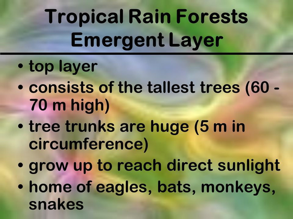 Tropical Rain Forests Emergent Layer top layer consists of the tallest trees (60 - 70 m high) tree trunks are huge (5 m in circumference) grow up to r