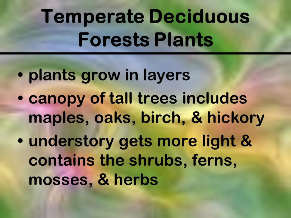 Temperate Deciduous Forests Plants plants grow in layers canopy of tall trees includes maples, oaks, birch, & hickory understory gets more light & con