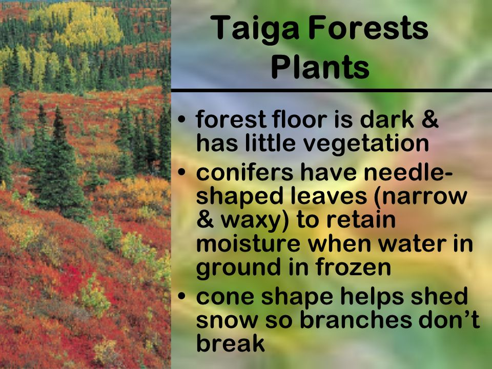 Taiga Forests Plants forest floor is dark & has little vegetation conifers have needle- shaped leaves (narrow & waxy) to retain moisture when water in