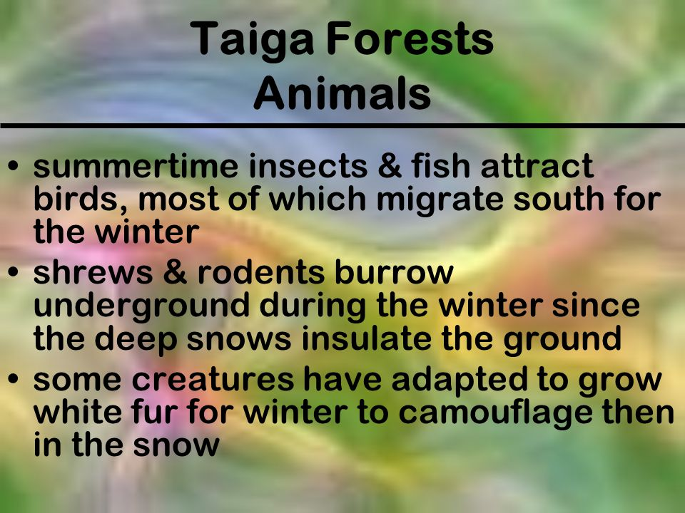 Taiga Forests Animals summertime insects & fish attract birds, most of which migrate south for the winter shrews & rodents burrow underground during t