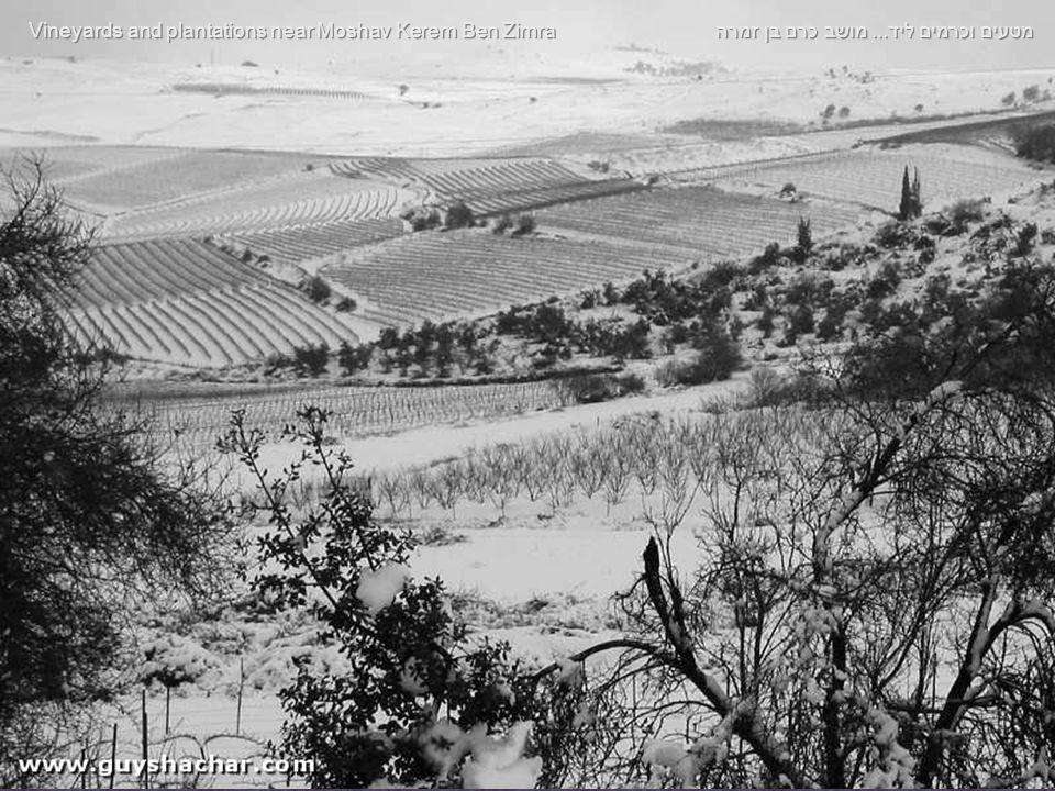 מטעים וכרמים ליד... מושב כרם בן זמרה Vineyards and plantations near Moshav Kerem Ben Zimra