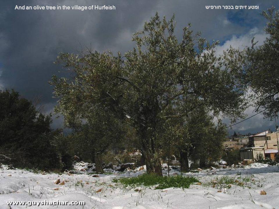 ונטיף קרח על עץ אלון Decorative icicles on an Oak tree