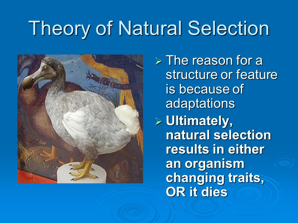 Theory of Natural Selection  The reason for a structure or feature is because of adaptations  Ultimately, natural selection results in either an org