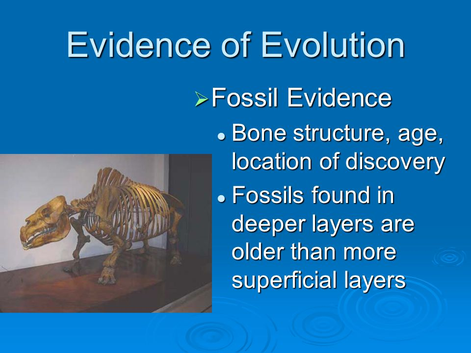 Evidence of Evolution  Fossil Evidence Bone structure, age, location of discovery Fossils found in deeper layers are older than more superficial laye