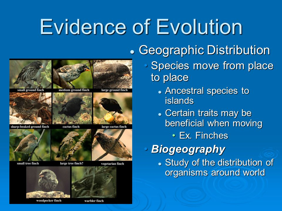 Evidence of Evolution Geographic Distribution Species move from place to place Ancestral species to islands Certain traits may be beneficial when movi