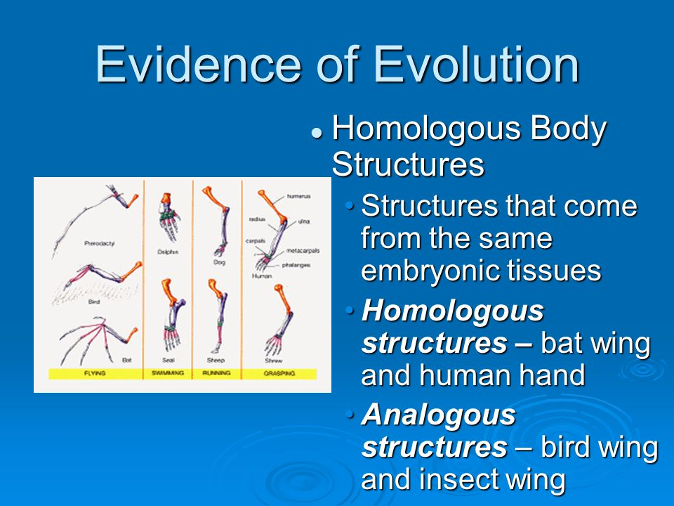 Homologous Body Structures Structures that come from the same embryonic tissues Homologous structures – bat wing and human hand Analogous structures –