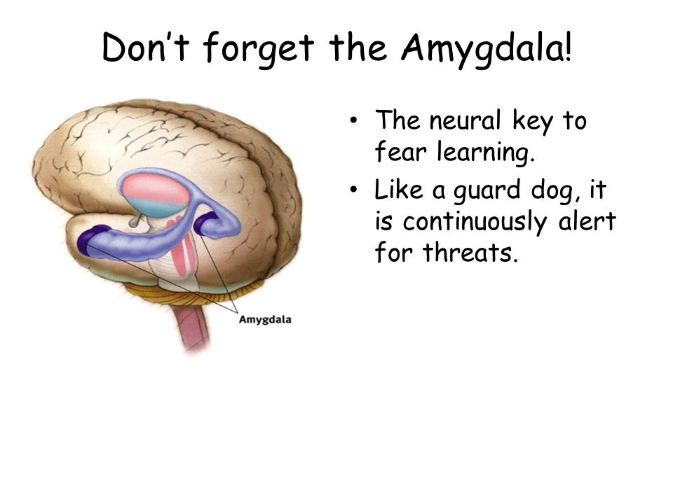 Don't forget the Amygdala.The neural key to fear learning.
