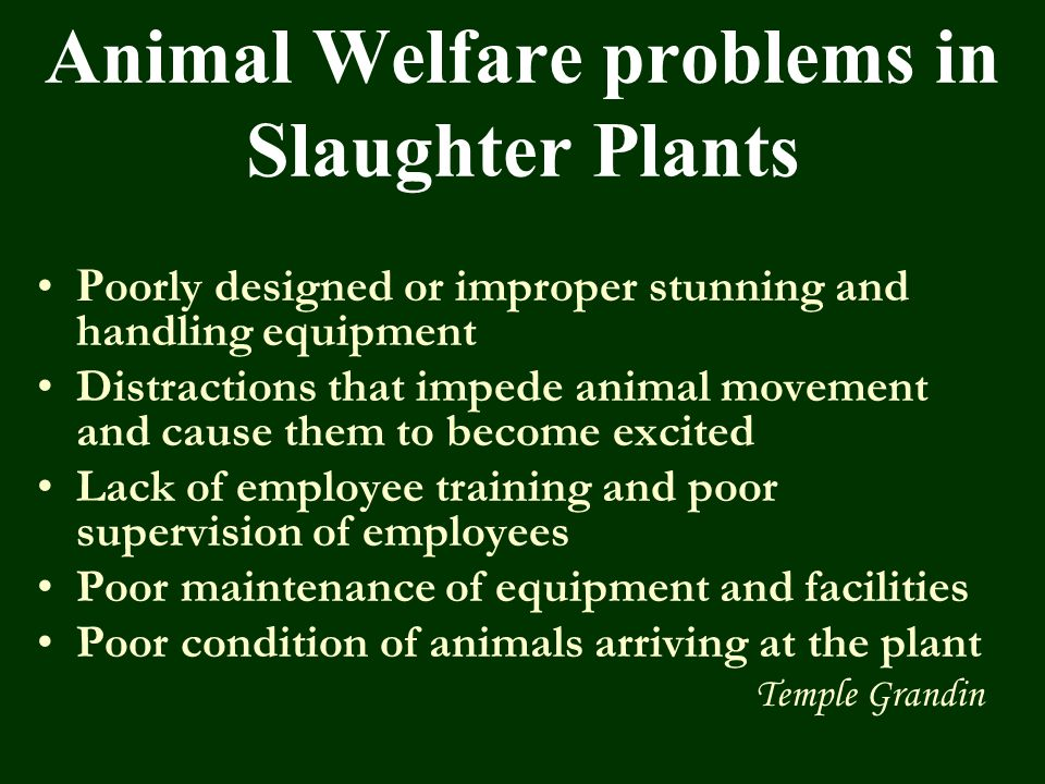Animal Welfare problems in Slaughter Plants P oorly designed or improper stunning and handling equipment Distractions that impede animal movement and