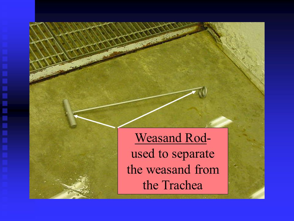 Weasand Rod- used to separate the weasand from the Trachea