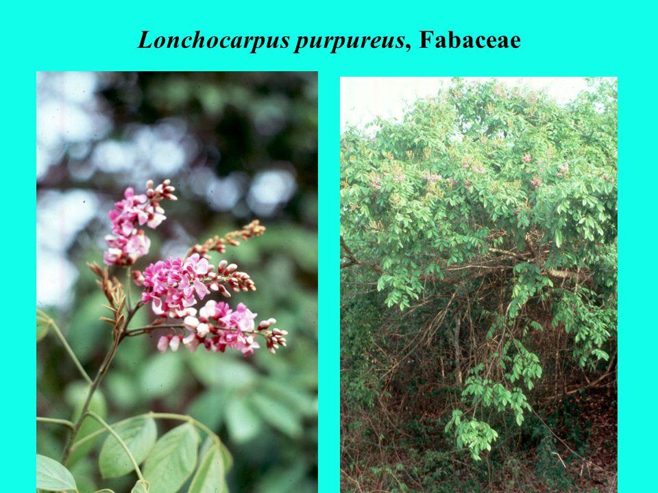 Lonchocarpus purpureus, Fabaceae
