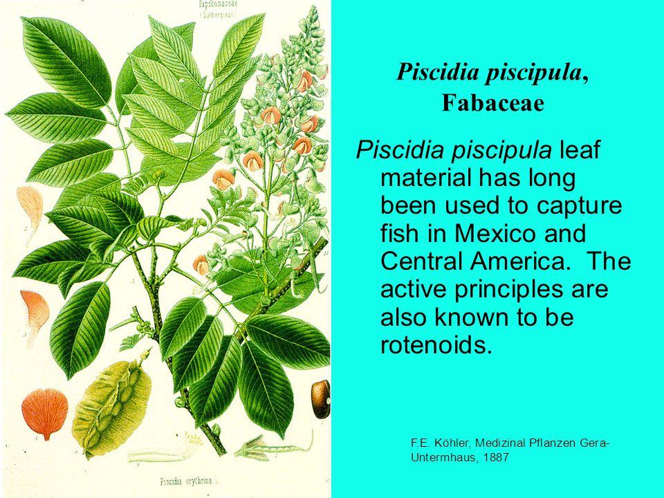 Piscidia piscipula, Fabaceae F.E.