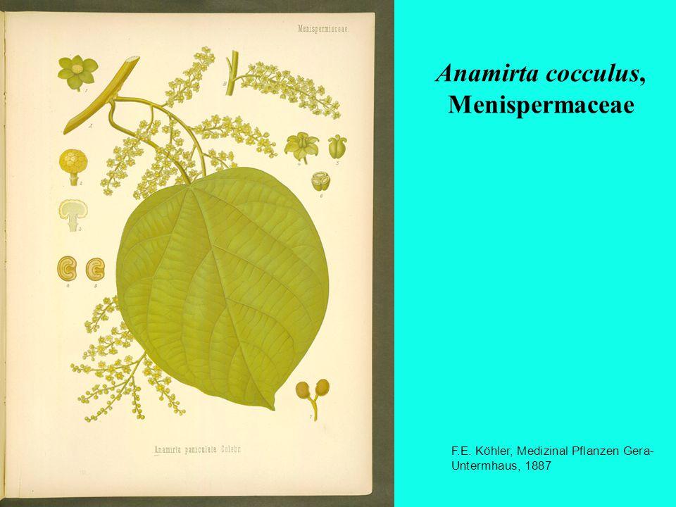 Anamirta cocculus, Menispermaceae F.E. Köhler, Medizinal Pflanzen Gera- Untermhaus, 1887