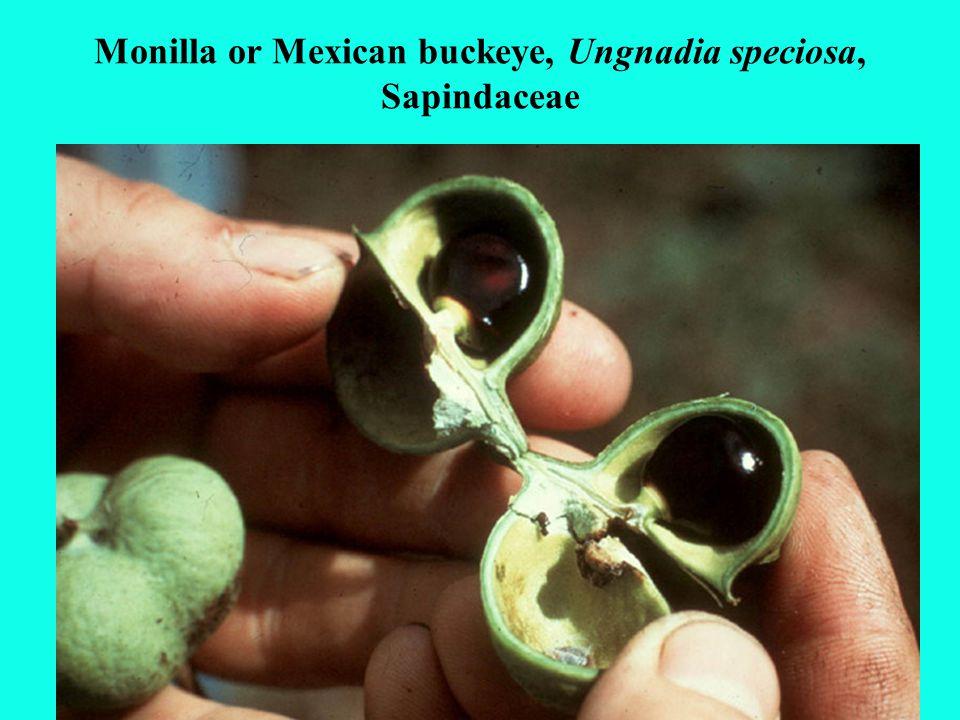 Monilla or Mexican buckeye, Ungnadia speciosa, Sapindaceae