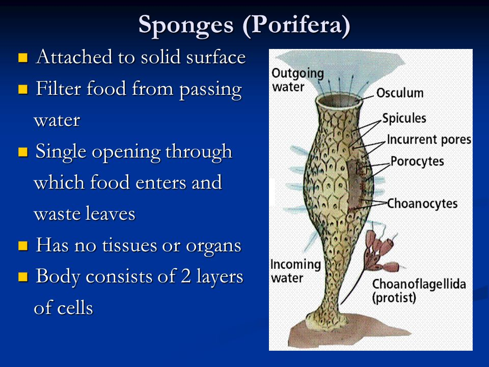 Sponges (Porifera) Attached to solid surface Attached to solid surface Filter food from passing Filter food from passing water water Single opening through Single opening through which food enters and which food enters and waste leaves waste leaves Has no tissues or organs Has no tissues or organs Body consists of 2 layers Body consists of 2 layers of cells of cells